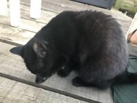 Found - Small black female cat