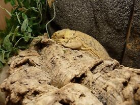 Spike .. who is a very friendly two and a half year old bearded dragon