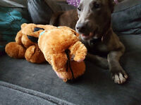 Young Lurcher to good home