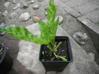 Plant for sale-A perpetual spinach in a 11 cm square pot