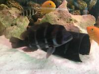 Frantosa cichild tropical fish