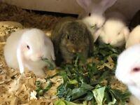 Baby Mini Lop Rabbits (Male & Female)