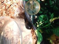 Black Mexican king snake
