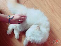 Persian lovely kitten xx