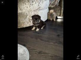 Pomeranian ready bear style puppy's