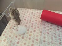 2 adorable Russian hamsters with cage