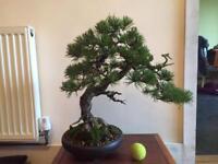 Scot's Pine Yamadori Bonsai