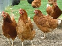 Brown Hens For Sale