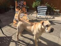Shar pei looking for forever home