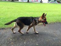 German Shepard pup ready to go and fled needs