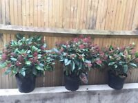Flowering shrubs/plants for sale because of garden redesign. Buyer collects from Barnes London SW13