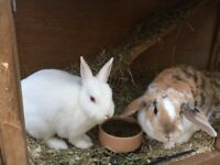 2 bonded female rabbits with hutch