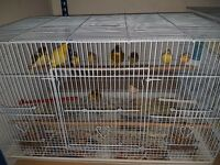 Singing Canary birds plenty of different colours and sizes to choose from