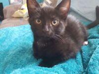 11week old male kitten