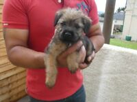 Beautiful Border Terrier Puppy