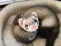 6 month old ferret for sale to a family that can give him the love he needs he loves to walk with me