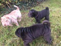 Two Gorgeous Shar-pei Puppies