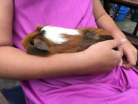 6 month old male guinea pig