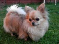 chihuahua dog neutered