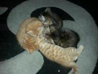Beautiful ginger/black/grey kittens
