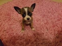 Tiny Teacup Smooth Coat Chihuahua Pedigree Puppy Ready To Leave His Mummy Now
