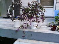 HOUSEPLANTS-XMAS CACTUS, JADE, PURPLE PASSION, AFRICAN VIOLET, C