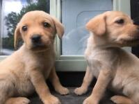 Labrador puppies Fox Red/Golden