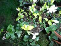 Variegated vinca minor ` Alba'or periwinkle plants with white flowers