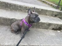French bulldog female puppy