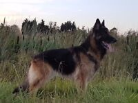 Reluctant sale of german sheperd ,great with kids and babys,