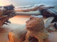 Bearded Dragon and full set up for sale.