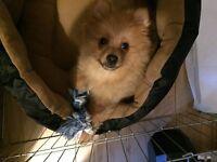 Stunning Pomeranian puppy boy