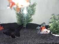 2 telescopic eye fancy fish