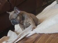 *reduced* French bulldog puppy's