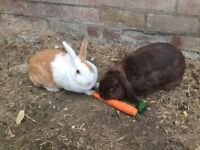 Bonded pair of rabbits