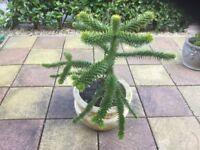 Monkey puzzle tree in pot