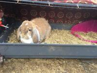 Bunny Rabbit for Sale