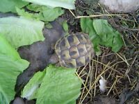 Young Tortoise for sale