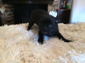 Pug boy ready for his new home!!