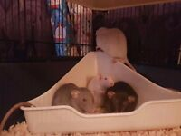 3 young male rats seeking forever home