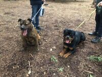 Rottweiler x Staffy puppies for sale