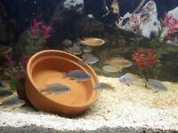 Cichlids (jalo reef)