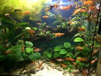 Tropical Fish - Guppy / Pleco L144 / Swordtails- Healthy Home Bred