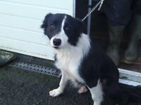 Female collie for sale