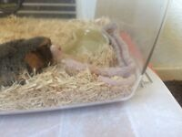 Corn snake few months old comes with viv