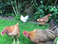 9 chickens- mixed flock need a new home due to us moving house.