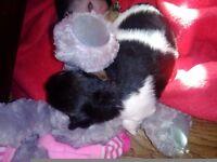 3/4 chihuahua puppy boy