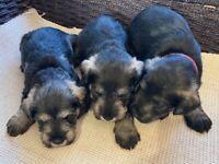3 Beautiful Schnauzer pups