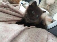 Beautiful grey and black kitten