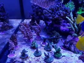 Corals, sps, lps for marine aquarium